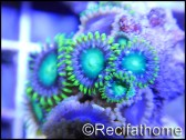 Green lantern 5-8 polypes S Zoanthus