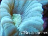 Caulastrea curvata Bleu/vert fluo S