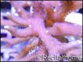 Seriatopora histrix rose M