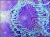 Zoanthus purple death rare + de 8 polypes