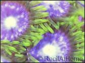 Zoanthus Bill premium  4-6 polypes