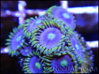 Zoanthus Blue star 4-5 polypes