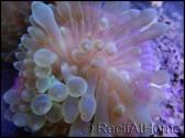 Entacmea quadricolor rose