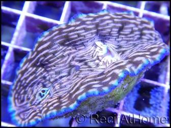 WYSIWYG Bénitiers Tridacna derasa GOLD Ultra M