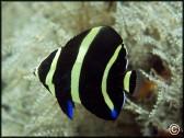 Pomacanthus paru juvénile