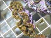 WYSIWYG 1 Bénitiers Tridacna maxima GOLD Ultra M
