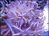 Heteractis aurora marbré blanche