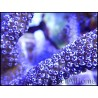 Montipora digitata polypes violet