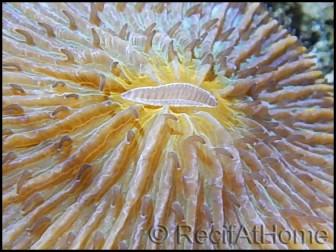 Fungia sp orange rare