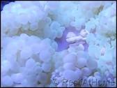 Heteractis malu TAILLE M de sable blanche