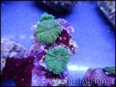 Rhodactis Green A