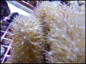 Plexorella gorgone symbiotique M