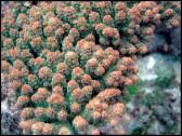 Acropora Florida (Vert W/ Orange Polypes)1