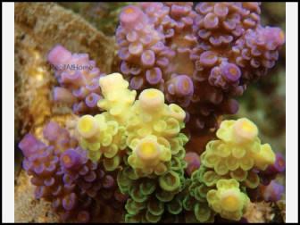 Acropora Prostata (Multicolor)