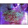 Euphyllia paradivisa bi-color S