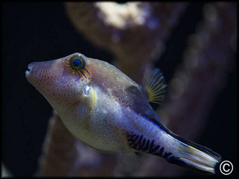 Canthigaster solandri
