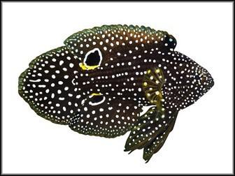Calloplesiops altivellis