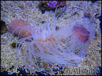 Cerianthus sp.