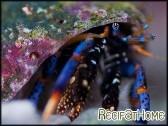 Clibanarius tricolor Bernard l'ermite pattes bleues
