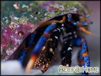 Clibannarius tricolor Bernard l'ermite pattes bleues