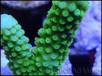 Acropora formosa vert s