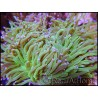 Euphyllia glabrescens Bicolor Fluogreen Pointes Roses S