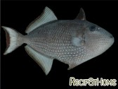 Xanthichthys auromarginatus femelle