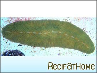 Polypphillia talpina corail langue