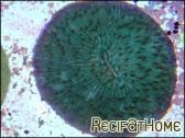Fungia moluccensis couleur sp