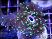 Euphyllia glabrescens pointes fluo green S