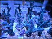 Acropora formosa Blue S