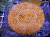 Fungia orange vif