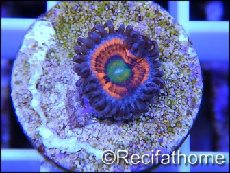 ZOA Everlasting Gobstoppers ULTRA au polype