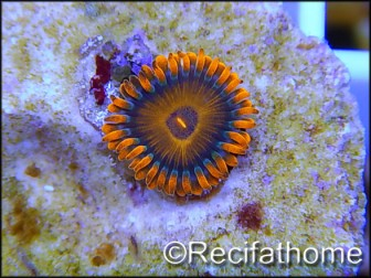 ZOA Orange oxyde ULTRA au polype