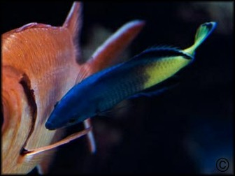 Labroides bicolor