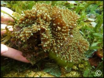 Rhodactys indosinensis