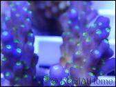 Acropora nana green Tips S