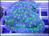 WYSIWYG Echinopora vert c4
