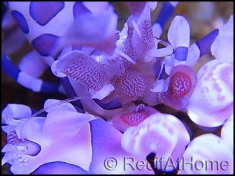 Hymenocera elegans(picta) TAILLE M Harlequin shrimp