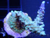 Acropora ultra coloré Taille S