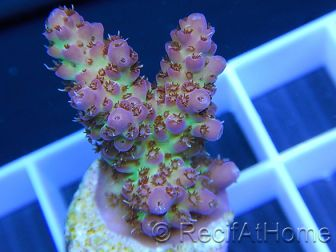 Acropora ultra pink limonade Taille S