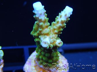 Acropora ultra green blue tips  Taille S