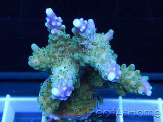 Acropora ultra purle tips Taille S