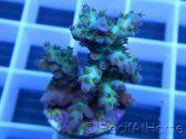Acropora plana pointes violettes Taille S