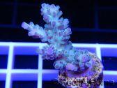 Acropora ultra bleu emeraude  Taille S