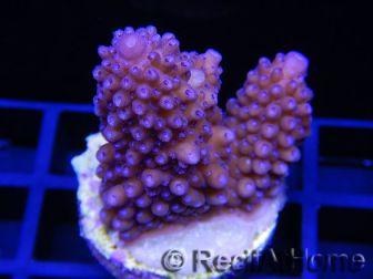 Acropora ultra humilis polypes bleus Taille S