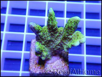 Montipora confusa Vert fluo taille S