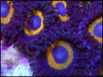 Zoanthus  3 polypes