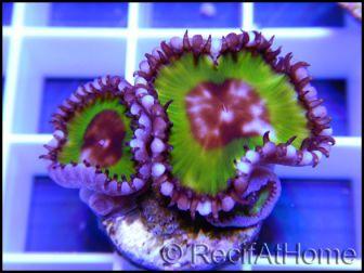 Palythoa grandis 1 polype