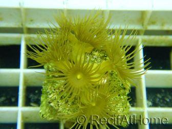 WYSIWYG Parazoanthus gracilLis T3